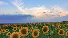 Timelapse of sunflower field on sunset background stock video