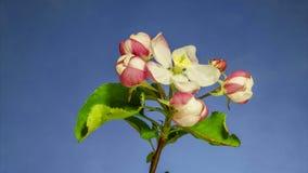 Apple tree flowers opening stock video