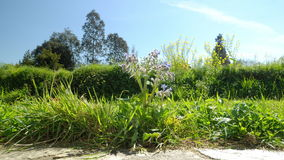Timelapse of a garden seen from the ground with a borage, flowers and trees - beautiful sunny day stock video footage
