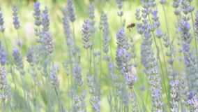 Insects on flowers. Timelapse of the great movement of insects, on the fragrant flowers of lavender stock video