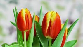 Timelapse haut étroit de movment de bourgeon floral de tulipes pour une nuit banque de vidéos