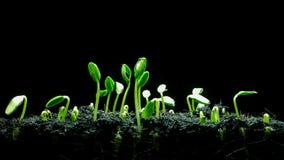 Timelapse 4K UHD de graine de germination clips vidéos