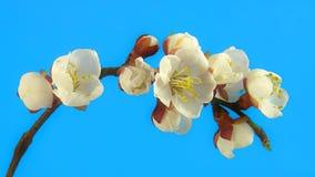 Timelapse Kirschblüte auf Blau stock footage