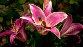 Lilly flowers flourishing. Timelapse Lilly flowers flourishing on nature background stock footage