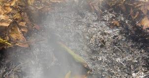Timelapse loopable video av en bränning och rebirthing stort grönt blad i askaen av en stor hög av sidor i 4096 PIXEL 24fps stock video