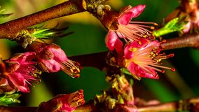Peach flowers flourishing. Timelapse Peach flowers flourishing on nature background stock video footage