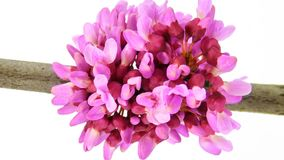Timelapse pink flowers on white stock footage