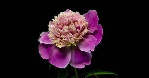 Timelapse of pink peony flower blooming on black background, stock footage