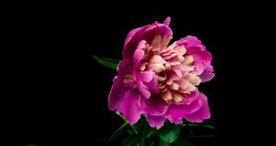 Timelapse of pink peony flower blooming on black background, alpha channel stock video