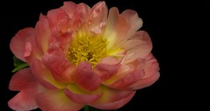 Timelapse of pink peony flower blooming on black background in 4K.  stock footage