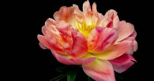 Timelapse of pink peony flower blooming on black background, stock video