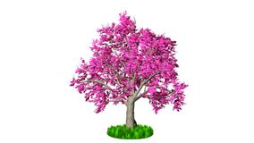 Timelapse pink tree growing, against white. Hd video stock video