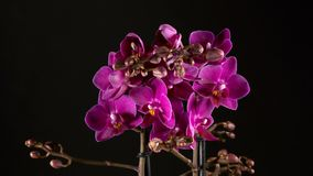Purple orchid flowers blooming on black background stock footage