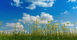Timelapse of rapaseed field under a blue sky with clouds stock footage