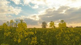 Timelapse of the rapeseed field, blooming canola flowers on the field in summer. stock video footage