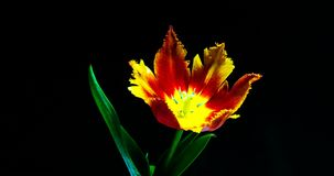 Timelapse of red tulip flower blooming on black background.  stock video