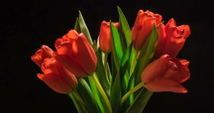Timelapse of red tulip flower blooming on black background.  stock video footage