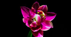 Timelapse of red tulip flower blooming on black background.  stock footage