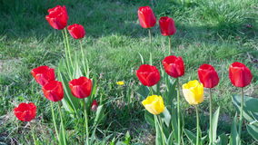 Timelapse of red tulip flowers. Timelapse of red tulip flowers stock footage