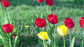 Timelapse of red tulip flowers.  stock footage