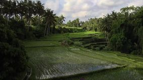 Timelapse of rice terrace at Ubud, Bali stock video