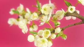 Timelapse Sakura en rosa metrajes