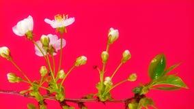 Timelapse sakura on red stock video footage