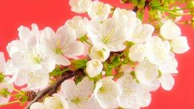 Timelapse Sakura sur le rose banque de vidéos