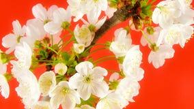 Timelapse Sakura sur le rouge banque de vidéos