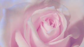 Timelapse slut upp av att öppna den rosa rosen och att blomma rosa rosor, härlig animering,