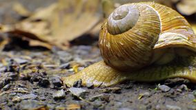Timelapse, snail crawls out of the frame stock video footage