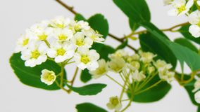 Timelapse spirea flowers on white stock video footage