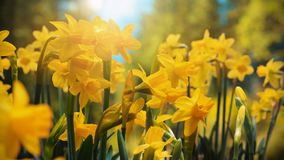 Timelapse spring is coming yellow flowers stock video