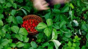 Timelapse: Strawberry harvesting stock video