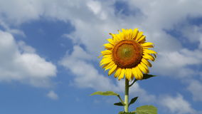 Timelapse of sunflower with blue sky and cloud stock footage