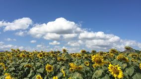 Timelapse of Sunflowers farm or field around the mountain at Thailand. In afternoon stock video