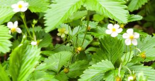 Timelapse of unripe wild strawberry stock video footage