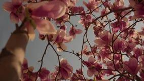 Timelapse van bloemen in de lente is bloeiend stock videobeelden