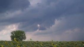 Timelapse van de donkere wolken boven het zonnebloemgebied stock videobeelden