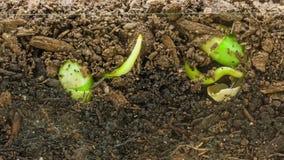 Timelapse van het kweken van sojabonen stock video