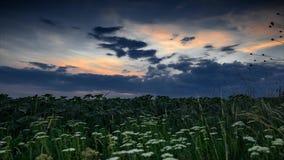 Timelapse van witte wildflowers bij avond op het gebied r stock videobeelden