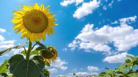 Timelapse van zonnebloem met hemel stock footage