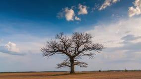 Timelapse video av ett perfekt träd som blickar som lungor stock video