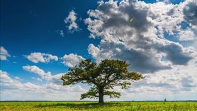 Timelapse video of an oak tree and cumulus clouds moving across the sky stock footage