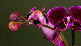 Timelapse video of a orchid flower blossoming stock video