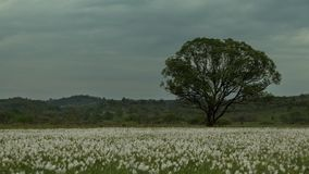 Timelapse view of lonely green tree standing in the daffodils meadow, which are listed in Red Book. No people around stock video