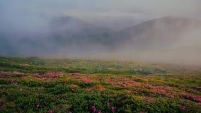 Timelapse von nebeligen Bergen mit blühendem Rhododendron blüht stock footage