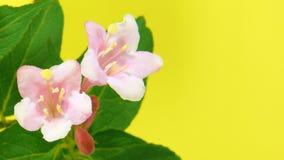Timelapse weigela flowers on yellow stock video footage