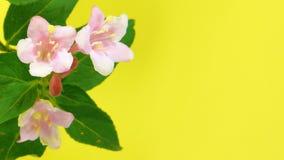 Timelapse weigela flowers on yellow stock footage