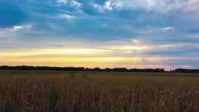 Timelapse of wheat field at sunset. HD. 1920x1080 stock footage